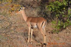 Lone impala