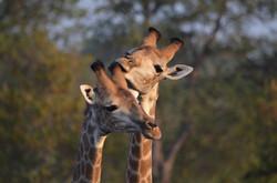 Giraffe brothers