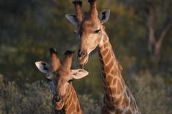 Giraffe brothers playing