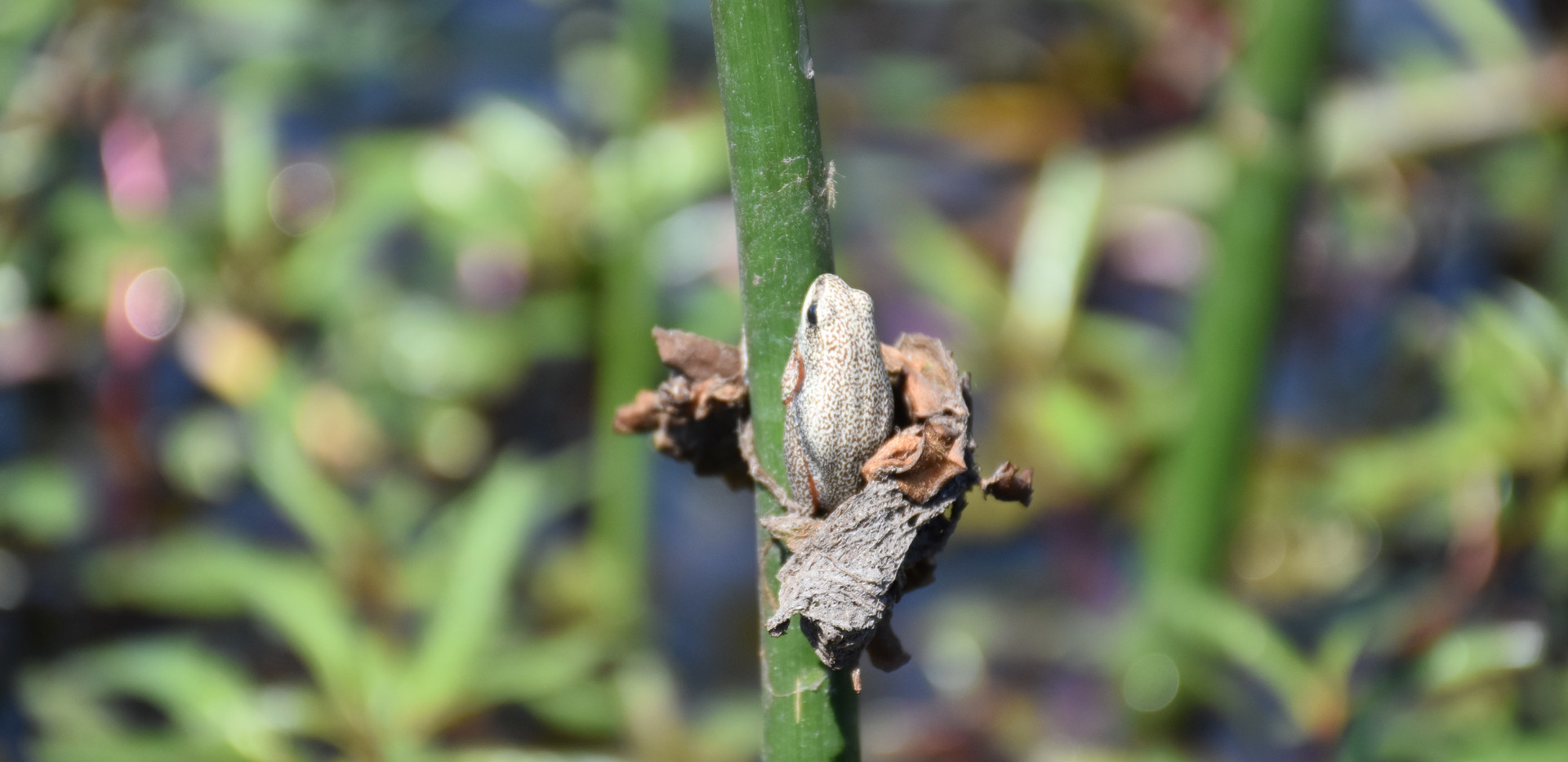 moremi frog.JPG