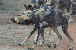 Wild dog pups playing in road