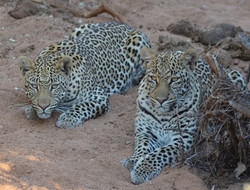Two leopard cubs