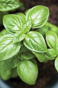 Basil Plant.jpg