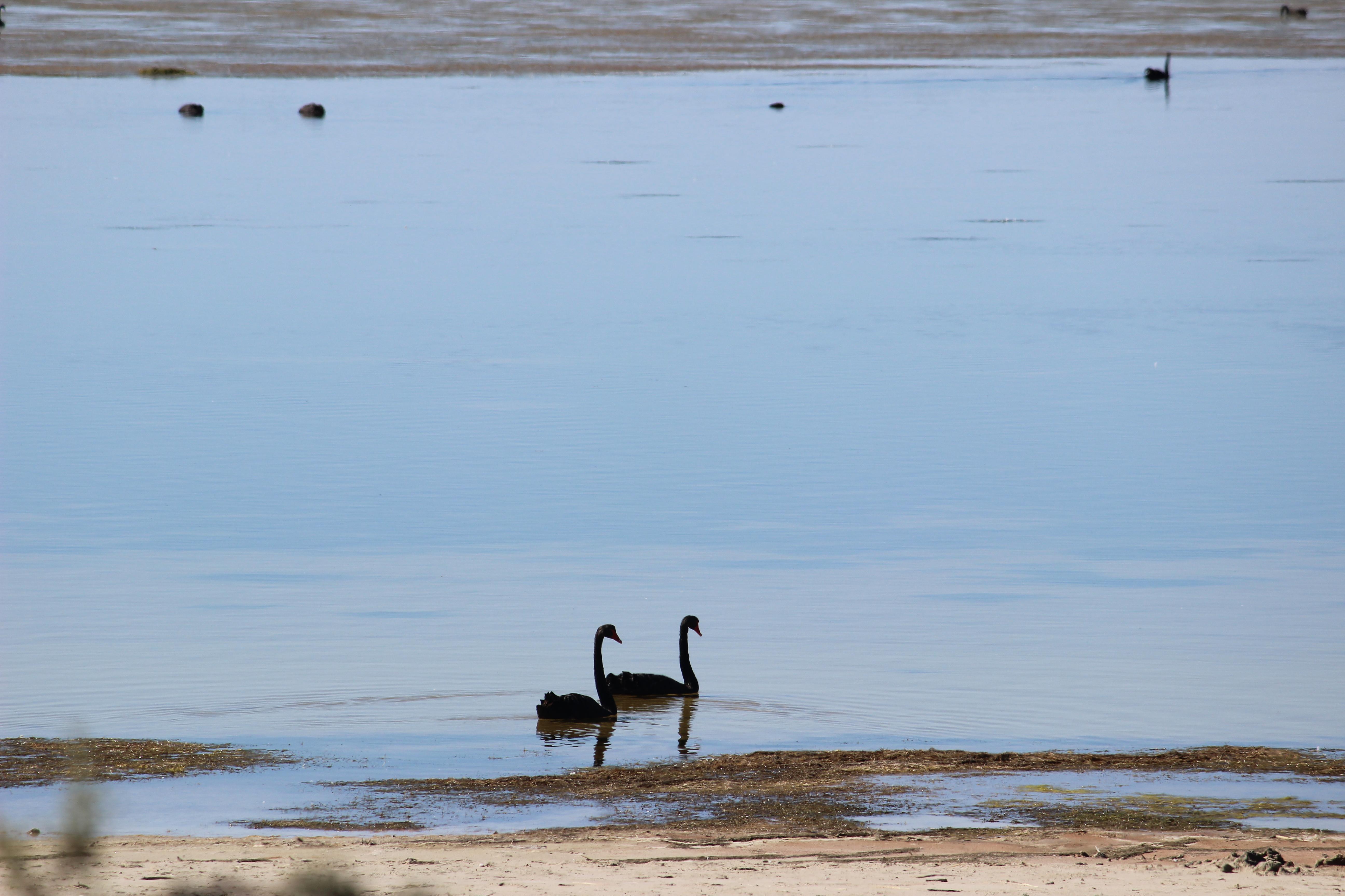 Cabarita swans