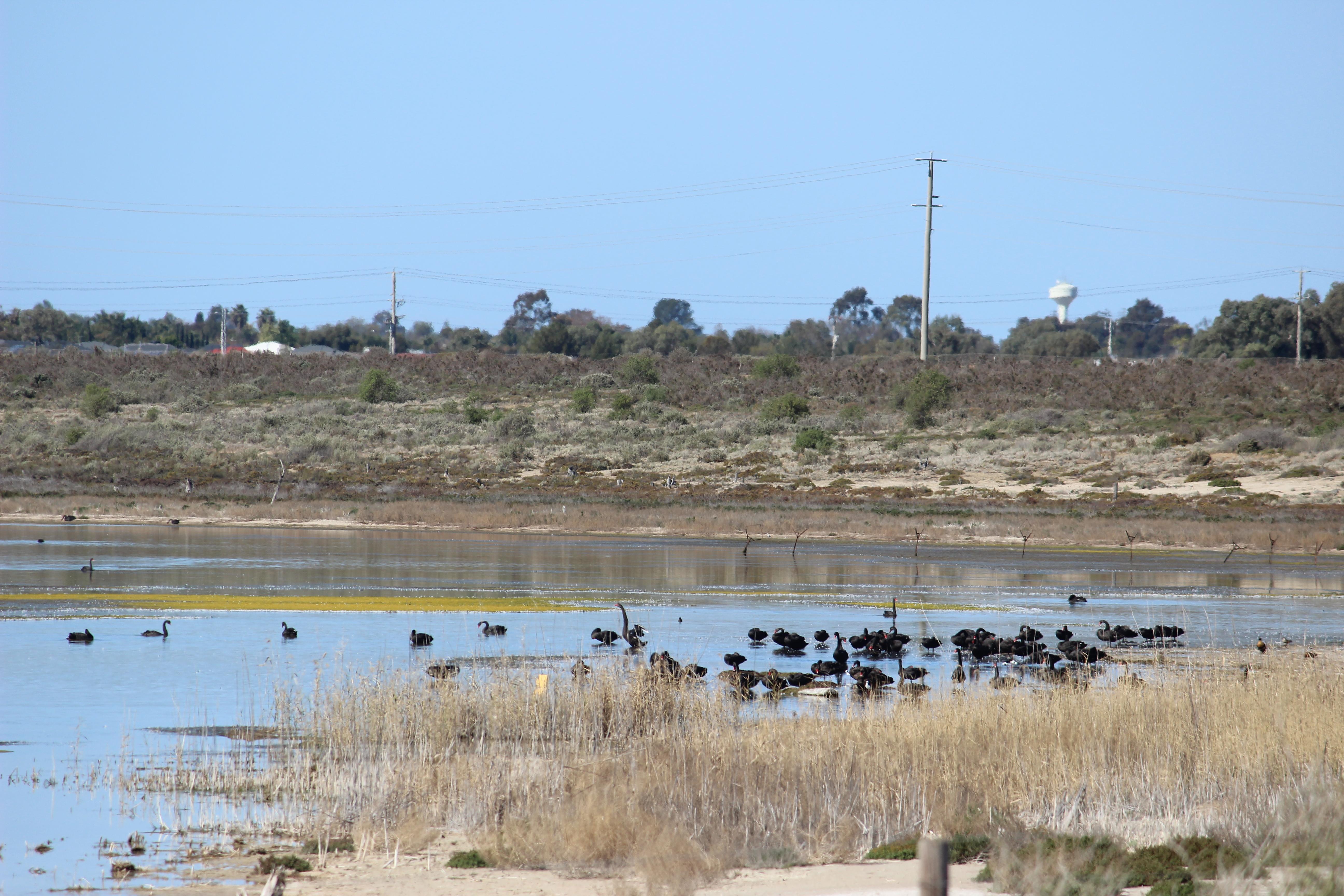 Cabarita swan population