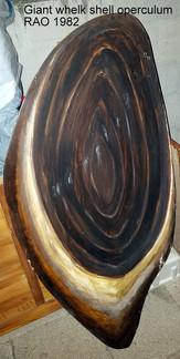 Giant Whelk Operculum