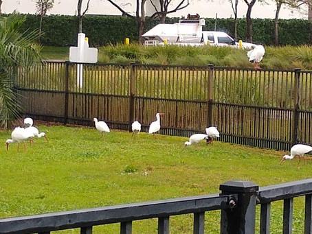 The Parrots of Doral Dog Park