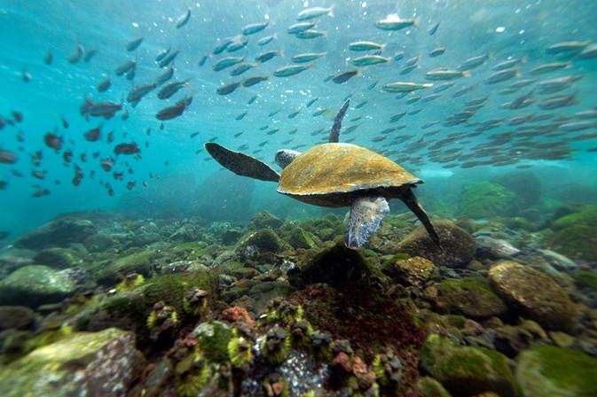 galapagos sea-turtle 5.JPG
