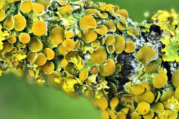 Xanthoria parietina (4).jpg