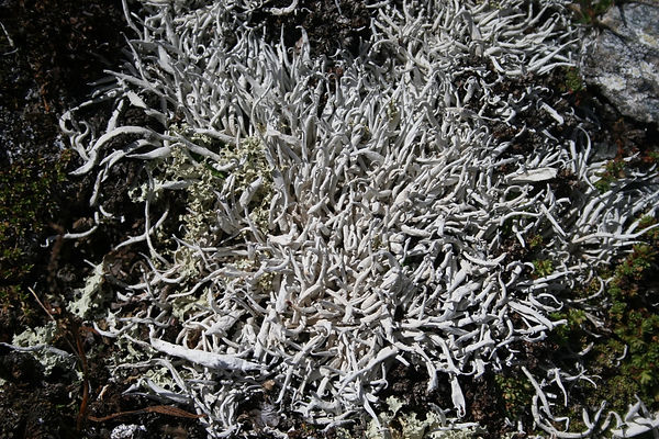 Thamnolia vermicularis 2.jpg