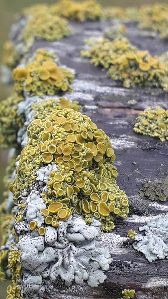 Xanthoria polycarpa 3.jpg