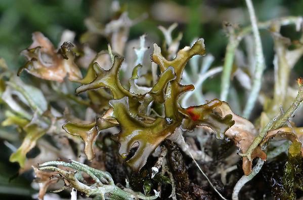 Cetraria ericetorum (4).jpg