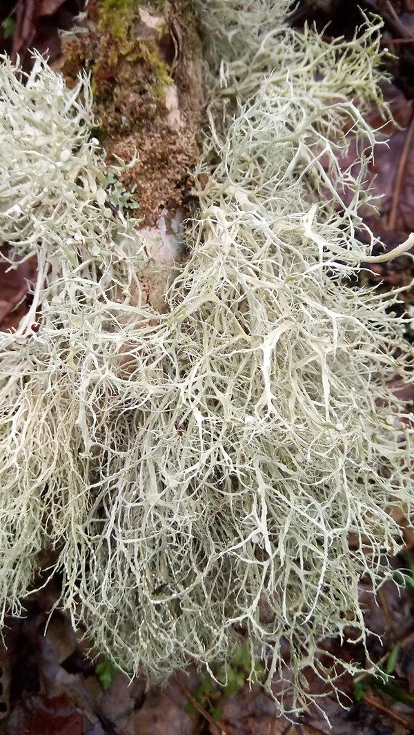 Ramalina farinacea (6).JPG