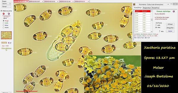 Xanthoria parietina (3).jpg