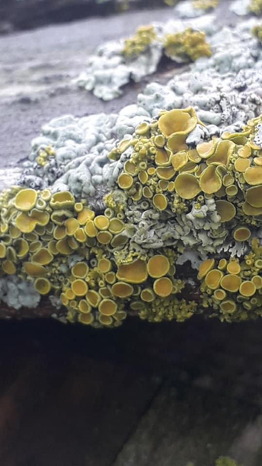 Xanthoria polycarpa 2.jpg
