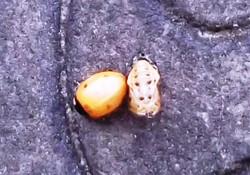 Ladybird Transformation