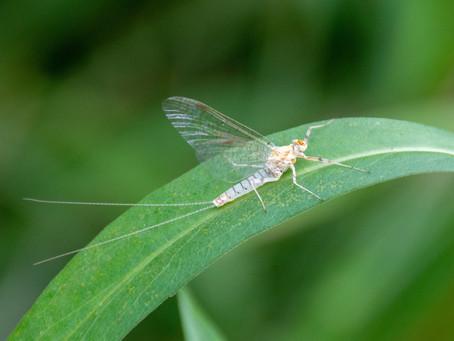 White Flies on Yellow Breeches