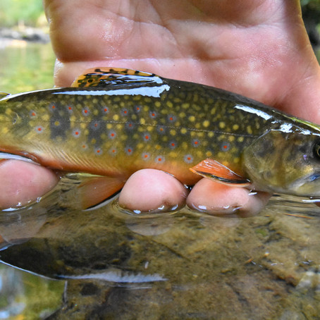 Blue-Lining Fall Trout