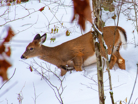 Semi-Hibernation and Survival: Whitetails in Winter