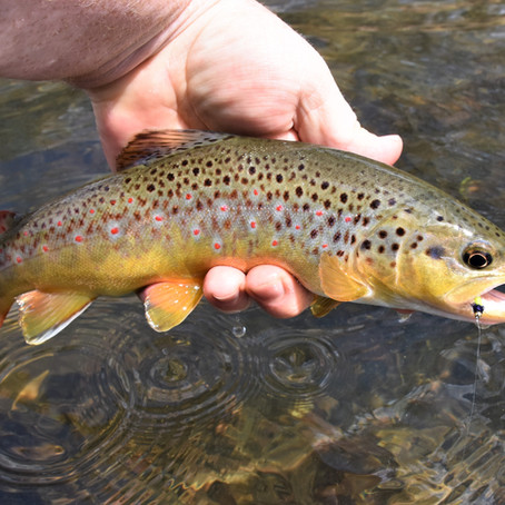 Wild Brown or Stocked? Know the Difference