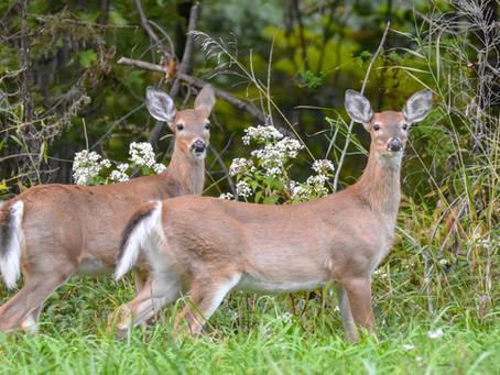 Can Wolves Help Control the Spread of CWD?