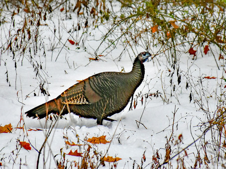 Boom and Bust: Turkeys in the Winter