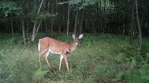 """Cutaneous Fibroma...a.k.a. """"Deer Warts"""""""