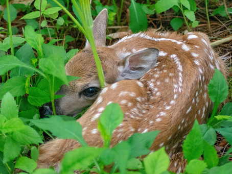 Fawn Mortality in the Big Woods