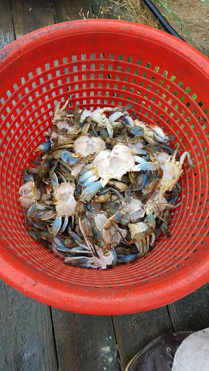 Basket of cleaned blue crabs
