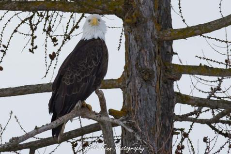 R_eagle2.jpg