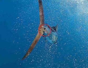 Swordfish stability