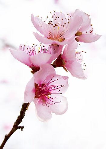 flor blossom.jpg