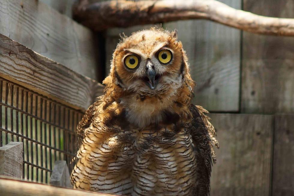 Owl WEB.jpg