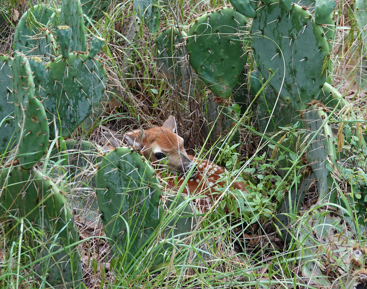 Fawn in Cactus web.jpg