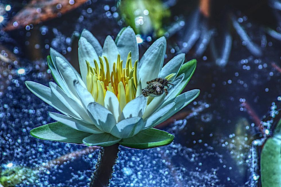 Adjusted Frog on Lilly Flower.jpg