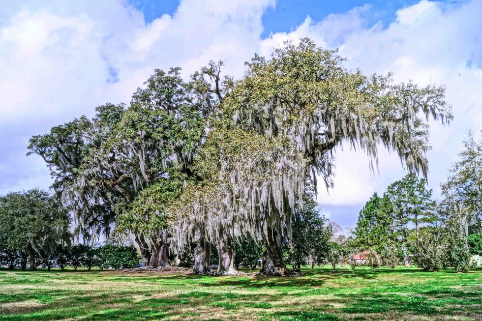 Manreasa Oak Pic 1 web.jpg