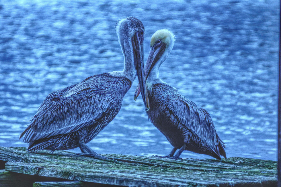 Pelican love adjusted low rez web.jpg