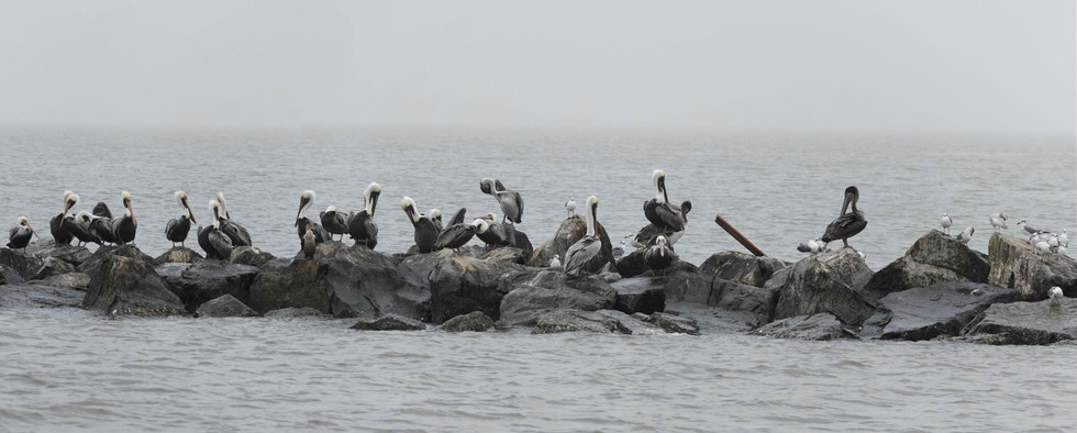 Pelican Pano