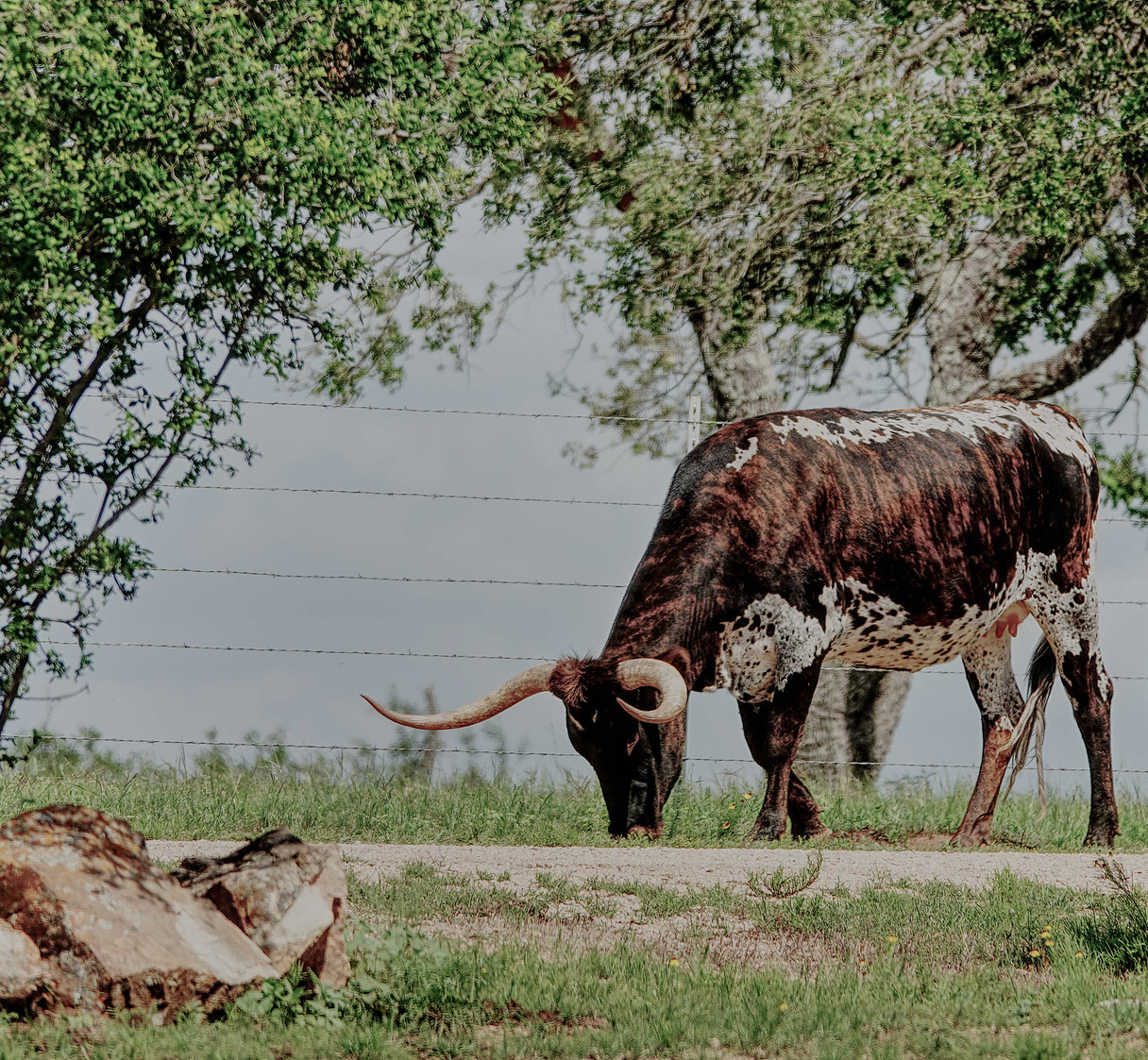 Long Horn on the Road