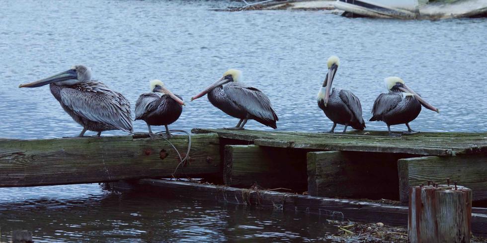 Pelican's Chillin