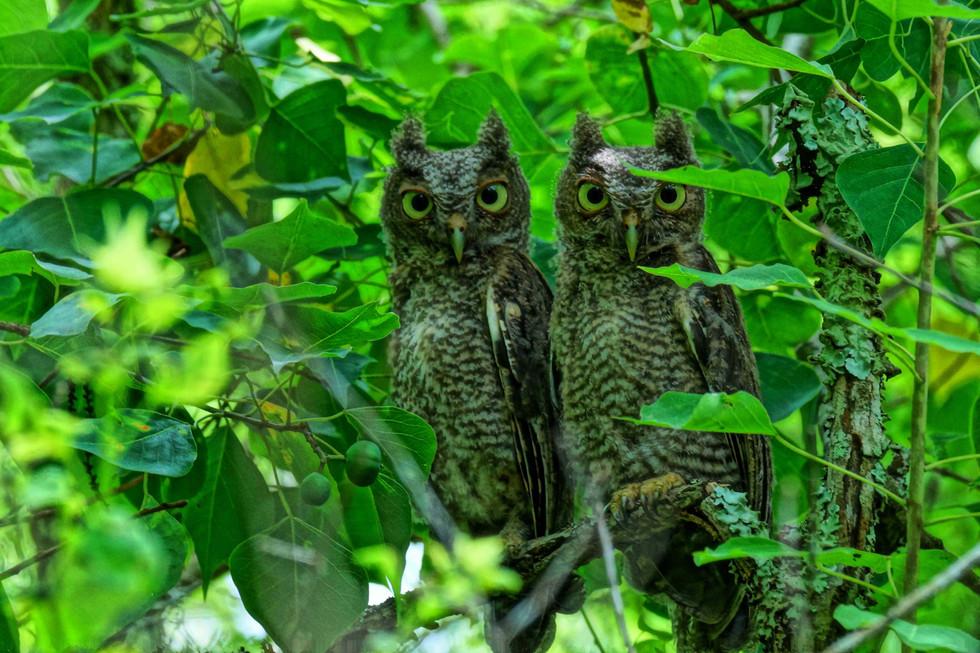 Baby Owls copy low rez web.jpg