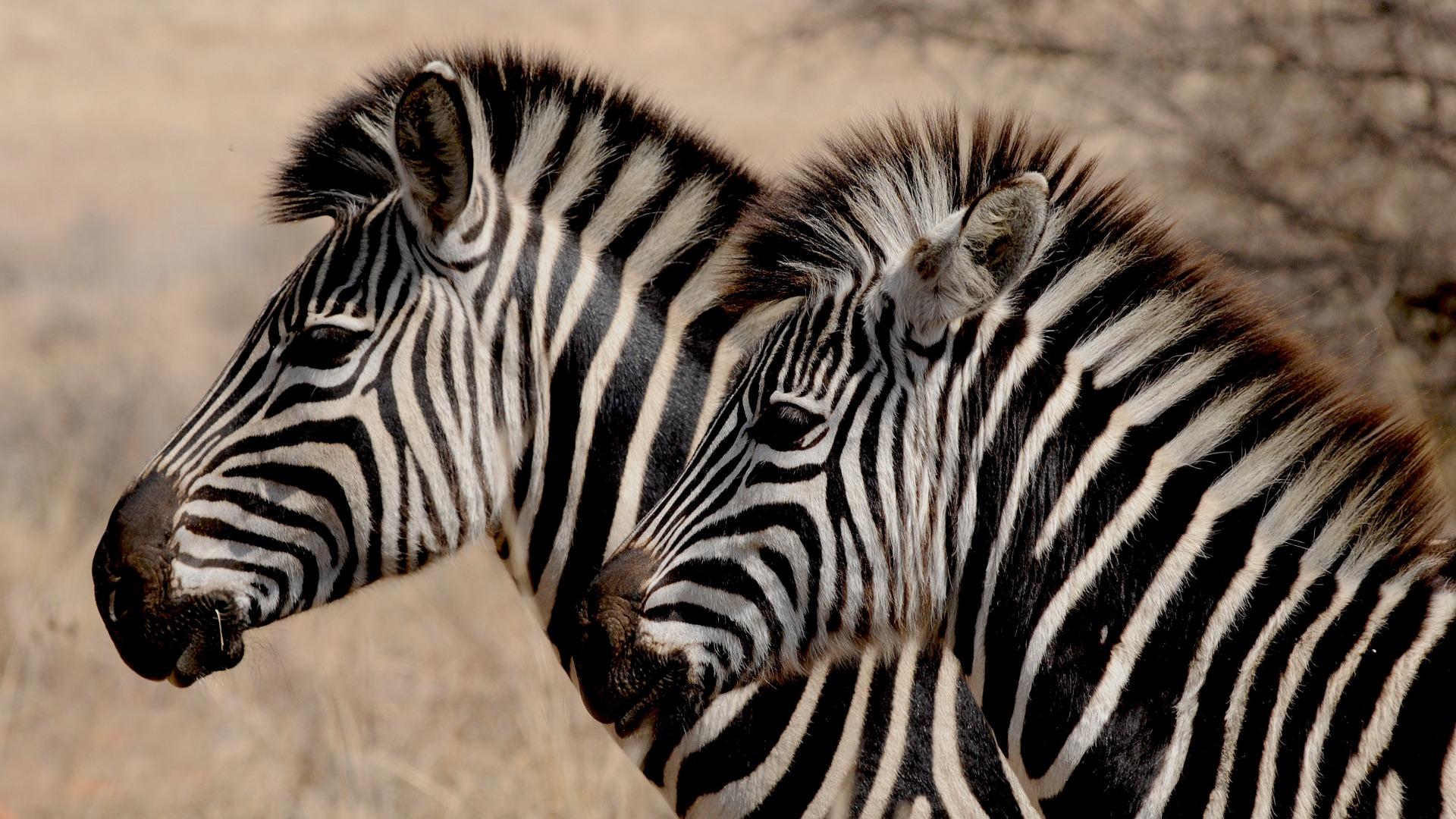 zebra-927272_1920.jpg