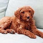 standard poodle, puppy, poodle
