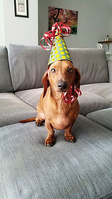 dachshund, birthday dog, dog party, dog treats