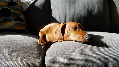 dachshund, doxie, sleeping dog, dog treats, cute dog