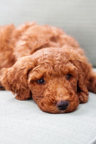 poodle, cute dog, cute poodle, red poodle