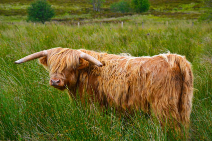 highlandcattle#2.jpg