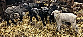 Lambs2.jpg