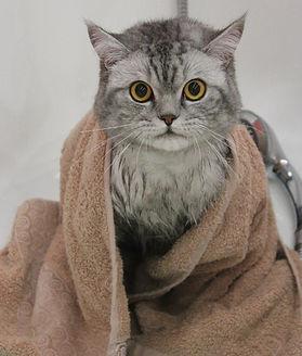 Стрижка котов без наркоза