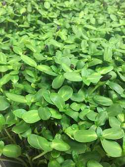 Microgreens are healthy and delicous!